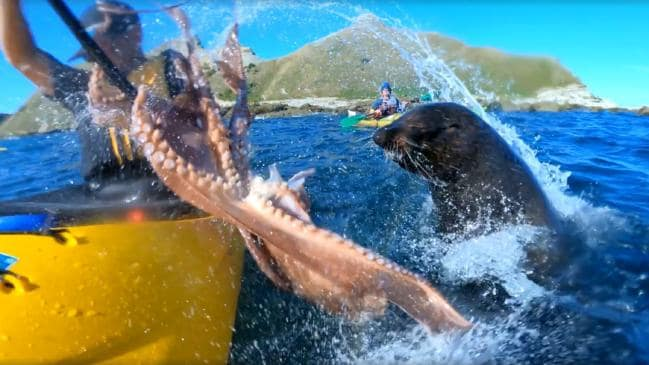 'Mate, what just happened?' Seal slaps kayaker in face with octopus