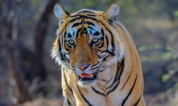 Calvin Klein fragrance could be used to lure killer tiger
