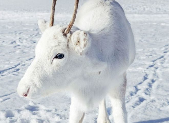 Rare white reindeer calf spotted on camera in Norway