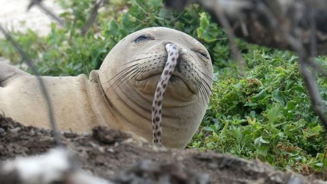 Endangered seal with eel up its nose remains a mystery