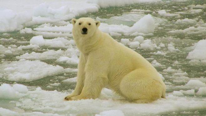 Russia islands emergency over polar bear 'invasion'