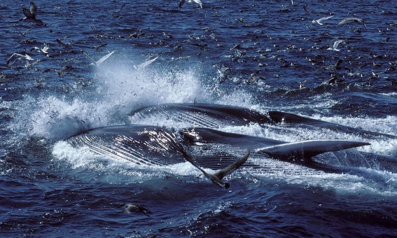 Iceland Will Allow More Than 2,000 Whales to be Killed in Next Five Years