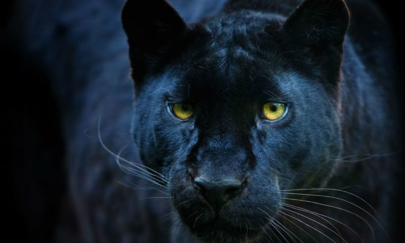 Rare Black Leopard Spotted in Kenya