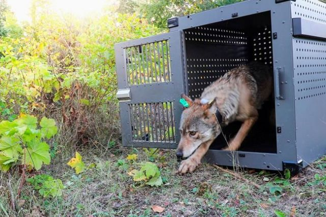 Wolves to lose protections