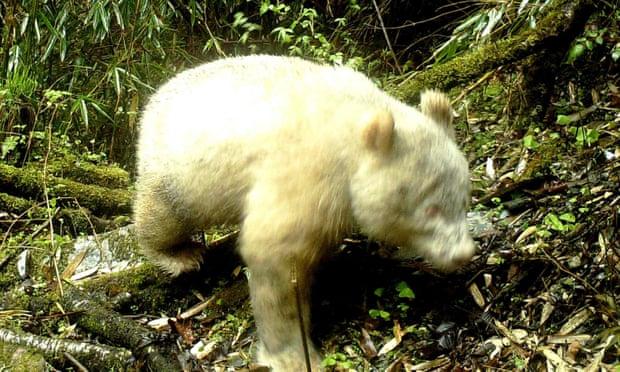 Albino panda caught on camera in China in world first