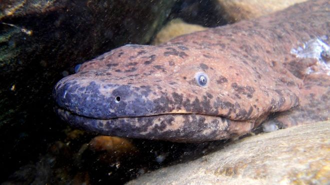 World's biggest amphibian 'discovered' in museum