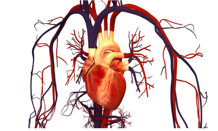 How blocking a 'first responder' in blood vessels could prevent heart disease