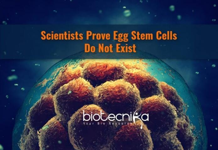 Egg Stem Cells Do Not Exist – New Findings