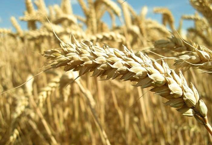 Romanian Wheat Cheapest on Offer at Egyptian GASC Tender