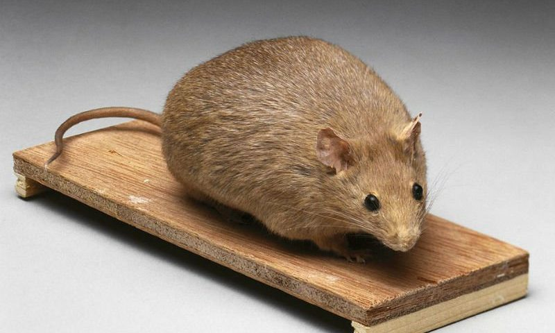 Immune system protein prompts obese mice to 'sweat' out fat, inspiring new treatment target